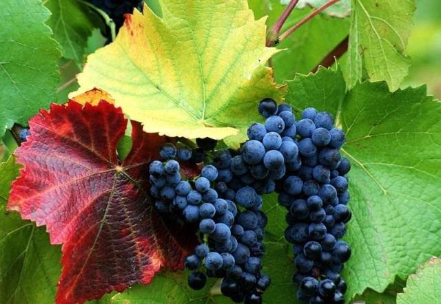 Выращиваем виноград, ежевику и мелиссу - агронева